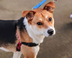 Meet Manolo 34 pounds 2 years old Needs a secure yard and experienced owner Manny was rescued fr
