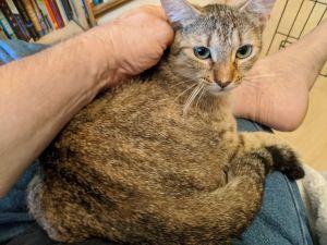Betty Abyssinian Cat
