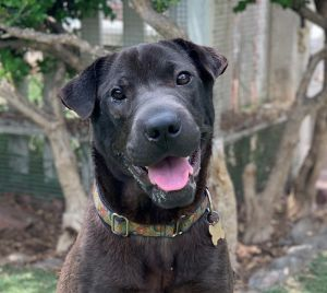 This is Shannon She is a female 1 yr old Shar-Pei lab mix Shannons sister Sharona was recently