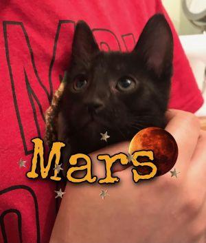 Mars Domestic Short Hair Cat