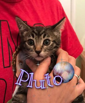 Pluto Domestic Short Hair Cat