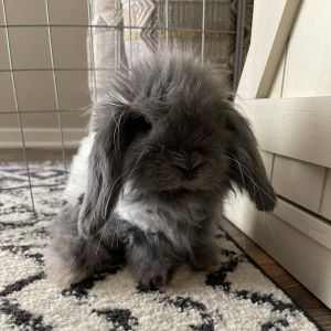 EEYORE IS A YOUNG MALE FUZZY LOP WHEN WE RESCUED HIM HIS FUR WAS HORRIBLY MATTED FUZZY LOPS REQUIR