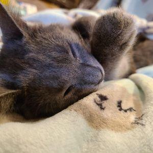 Missy Domestic Short Hair Cat