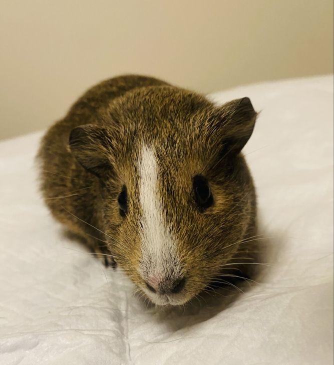 Wheek the Guinea Pig