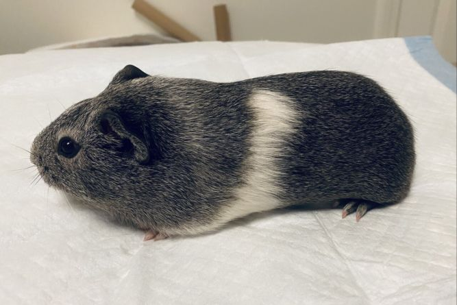 Rumble the Guinea Pig