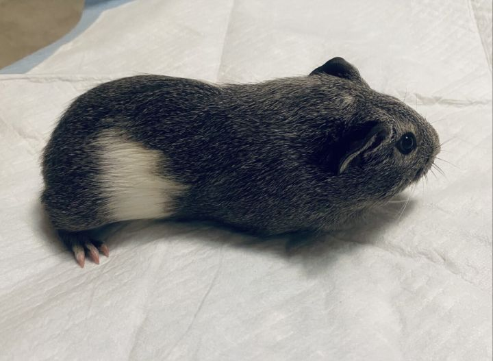 Rumble the Guinea Pig 3