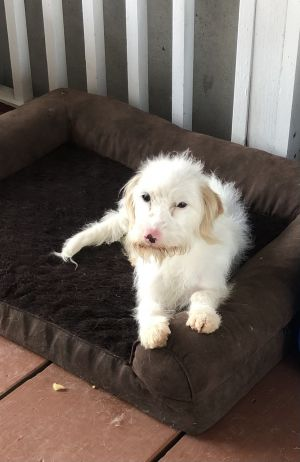 Rose Maltipoo Dog
