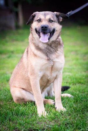 PROSHA German Shepherd Dog Dog
