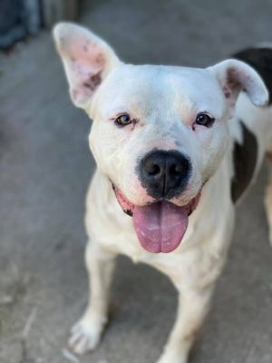 Hank A226885 Hank is a 1 year old male who came into the shelter on 428 as a stray Handling
