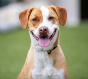 TO APPLY GO TO wwwLuckyDogRefugecom Meet Michelle a 1 year old Lab Pit Bassett Hound mix with a