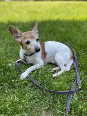 Meet Bear Bear is a 10lb 7-9yo jack chi mix He is a very sweet and loving dog who was