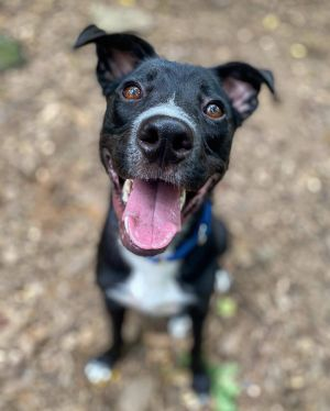 Jeffery is an adorable and cheerful puppy boy Although he is aged around 1-2 years old he is young