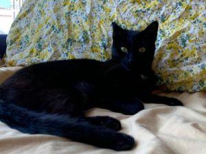 Hailey Domestic Short Hair Cat