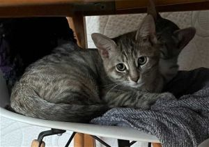 Merry Dilute Calico Cat