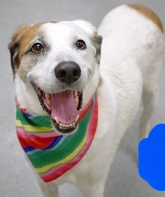 Hellomy name is Pringle Im a 5 yr old male 60lb labhound mix I am the very definition of a