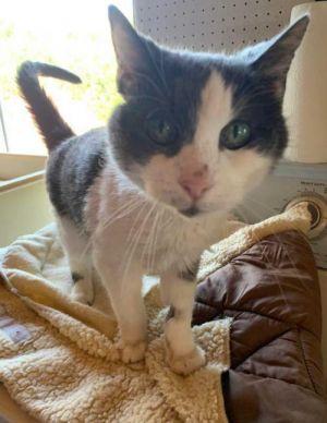 Louie Domestic Short Hair Cat