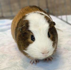 CARL Guinea Pig Small & Furry