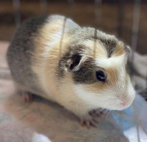 WINSTON Guinea Pig Small & Furry