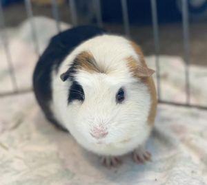 MARTIN Guinea Pig Small & Furry
