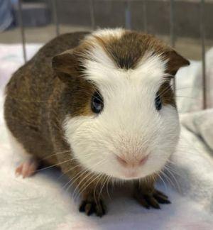 HAROLD Guinea Pig Small & Furry
