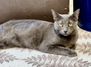 Esmeralda Seven months of adorable Russian Blue cuteness Shes playful and sweet and loves chin sc
