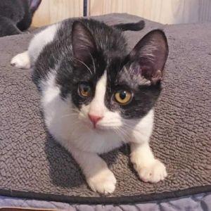 Keaton Domestic Short Hair Cat