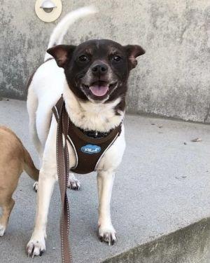 Selene Jack Russell Terrier Dog