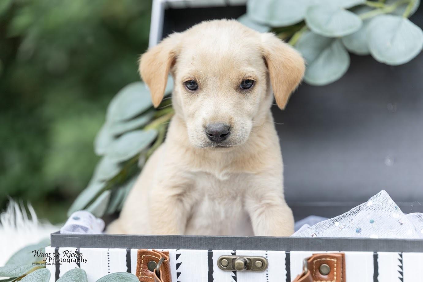 Labrador Retriever Dog Andrew