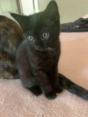 Montego Domestic Short Hair Cat