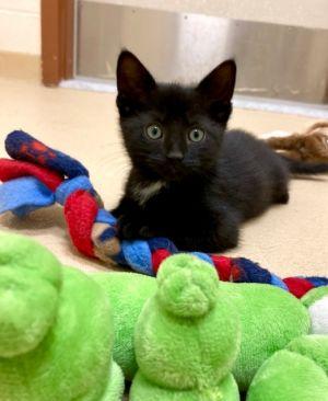 One Last Kitten! Domestic Short Hair Cat