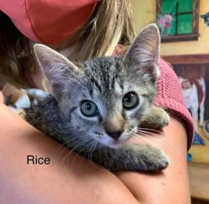 Meet Rice an adorable male 9-week old tabby kitten He is in a foster home not at the shelter He