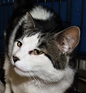 Joya Domestic Short Hair Cat