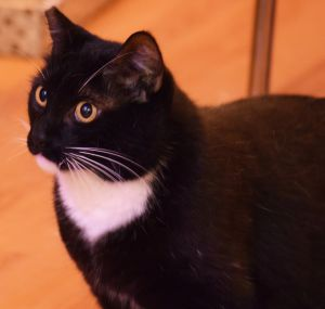 Boots *FOSTER NEEDED* Domestic Short Hair Cat