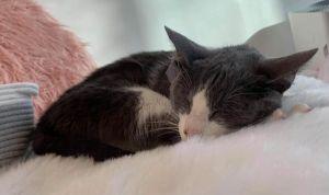Valentino (bonded to Valentina) Domestic Short Hair Cat