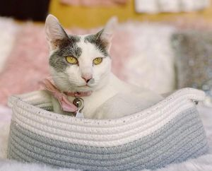 Valentina (bonded to Valentino) Domestic Short Hair Cat