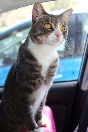 Rikki Tikki Tavi Tabby Cat