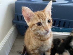 Lee American Shorthair Cat