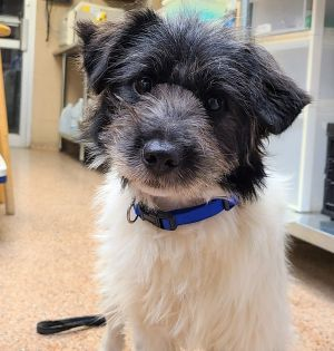 Millie aka Hei Tou is the cutest scruffy terrier mix with a gentle disposition and loving personalit