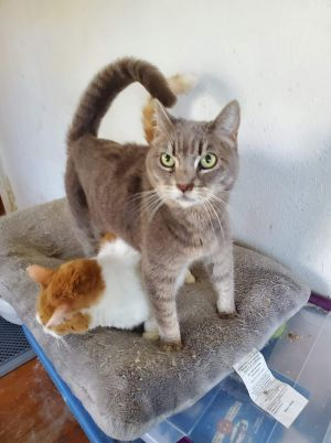 Chloe 10 yo F spayed bonded pair with her brother Nicky special adoption fee for bonded pair vis