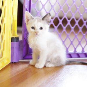 Magnolia Snowshoe Cat