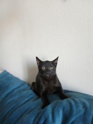 Julian Domestic Short Hair Cat