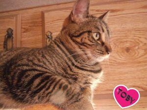 Toughie Toby Domestic Short Hair Cat