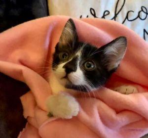 Yuki Domestic Short Hair Cat