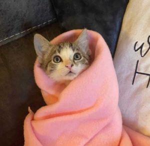 Kyo Tabby Cat