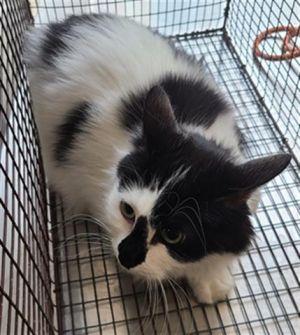 ETTA Domestic Short Hair Cat