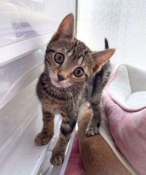 AVAILABLE FOR PREADOPT TO BE ADOPTED OUT IN JULY  MUST GO TO A HOME WITH ANOTHER YOUNG PLAYFUL CAT