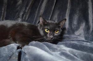 ARIANA Domestic Short Hair Cat