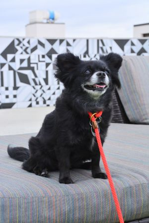 Torvi. (and Ragnar) Pomeranian Dog