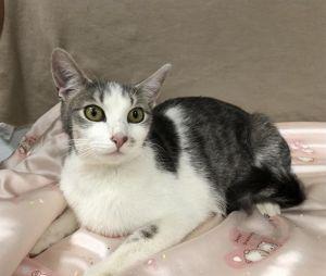 FELICIA Domestic Short Hair Cat