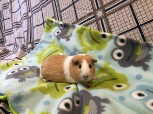 Sadie Guinea Pig Small & Furry